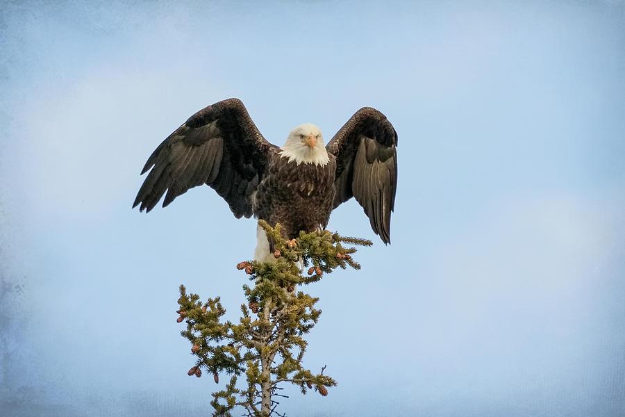Majestic Bald Eagle by Vicki Stansbury