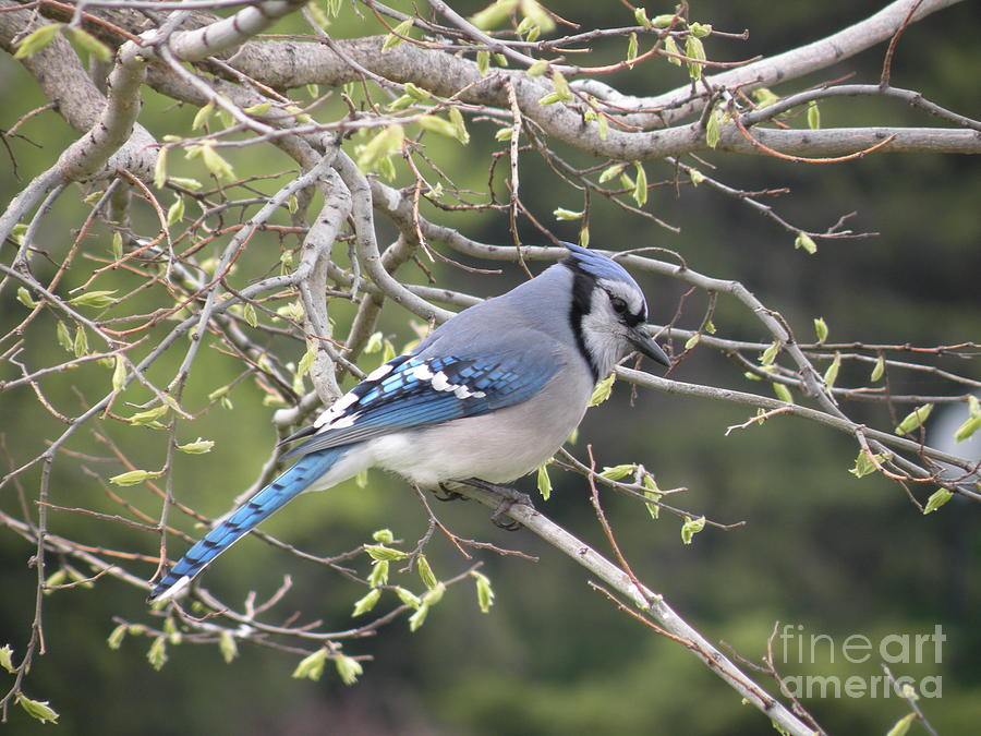 Majestic Blue Jay by Joanne Young