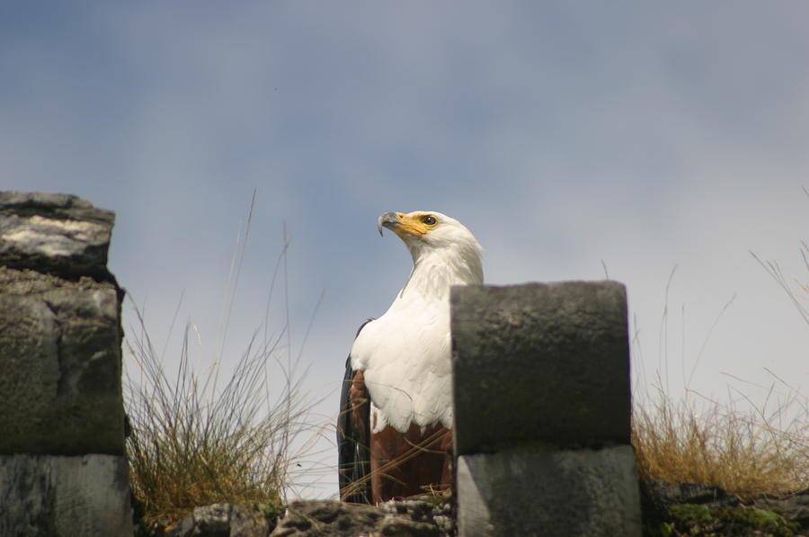 Eagle Photograph - Majestic Eagle by Dagmar Batyahav