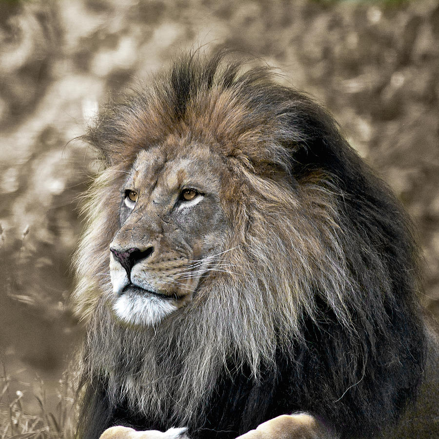 Majestic lion brown and black and white by Steve and Sharon Smith