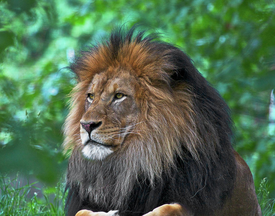 Majestic lion by Steve and Sharon Smith