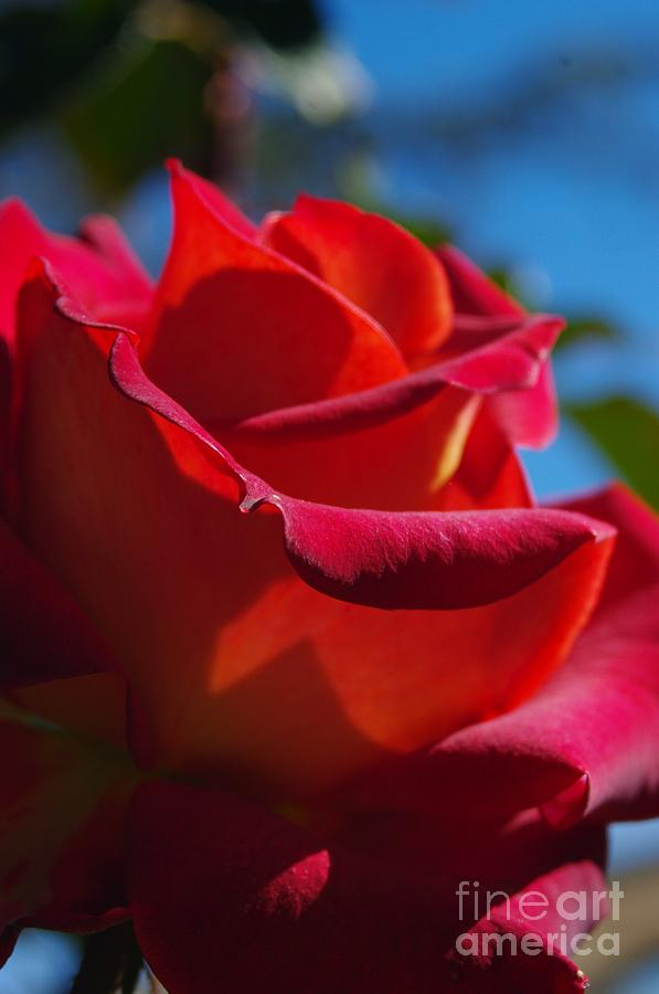 Rose Photograph - Majestic by Lorles Lifestyles