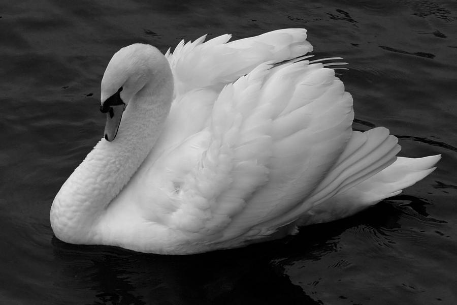 Swan Photograph - Majestic Mute Swan by Pierre Leclerc Photography
