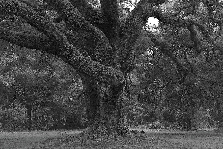 Majestic Oak II by Richard Rizzo
