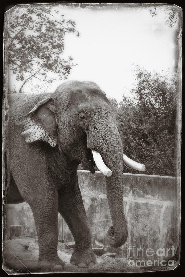Elephant Photograph - Majestic by Sandy Adams