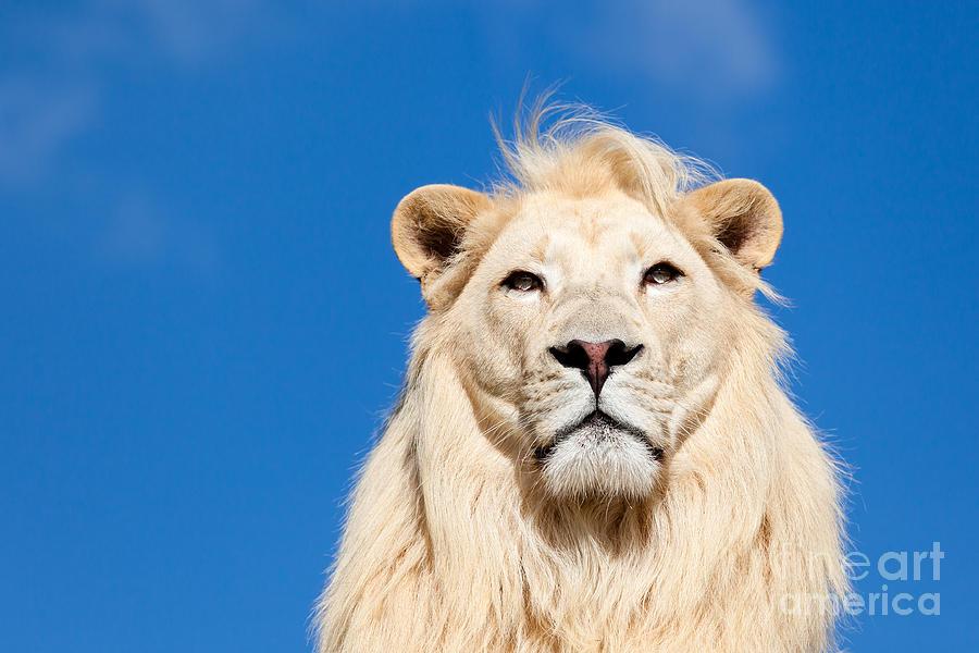 White Lion Photograph - Majestic White Lion by Sarah Cheriton-Jones