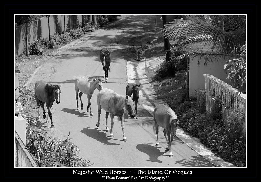 Majestic Wild Horses Of Vieques Poster Photograph
