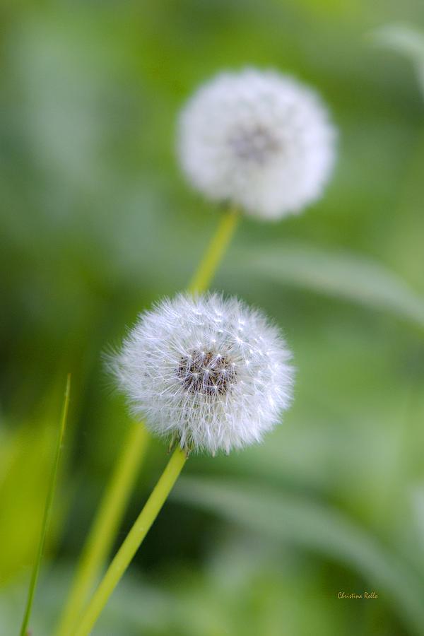 Dandelion Photograph - Make A Wish Dandelion by Christina Rollo