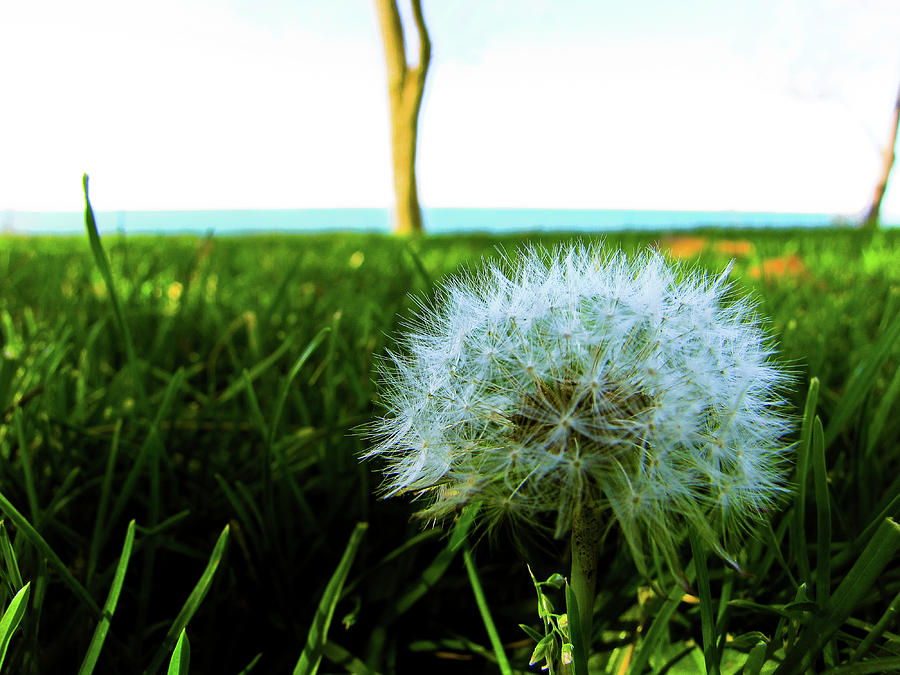 Dandelion Photograph - Make A Wish by Peter May