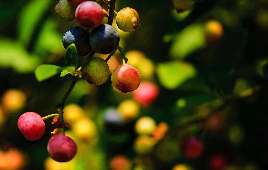 Making Blueberries by John Harding