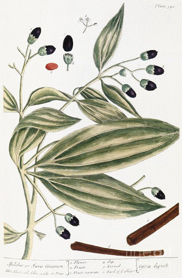 1730s Photograph - Malabar Cinnamon, 1735 by Granger