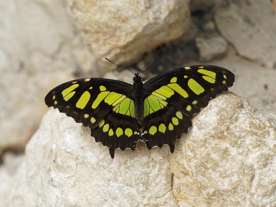 Malachite Butterfly - Siproeta stelenes by Paul Gulliver