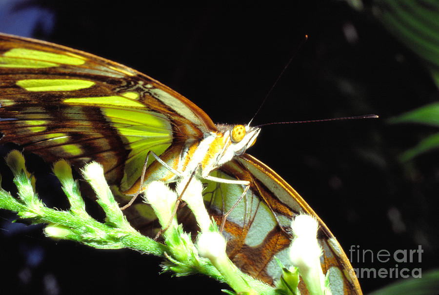 Insect Photograph - Malachite Butterfly by Thomas R Fletcher