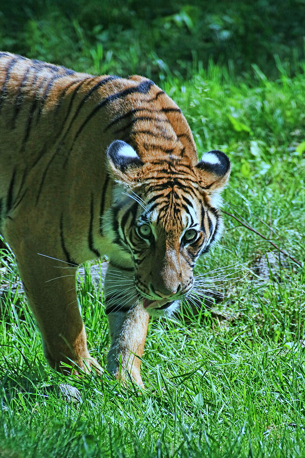 Tiger Photograph - Malayan Tiger # 2 by Allen Beatty