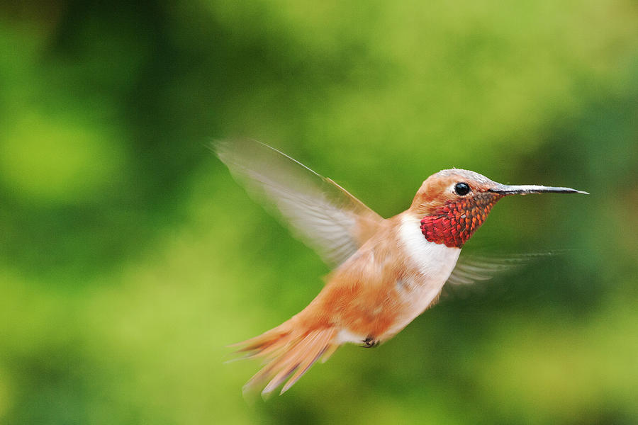 Male Allens Hummingbird Photograph by Mike Herdering