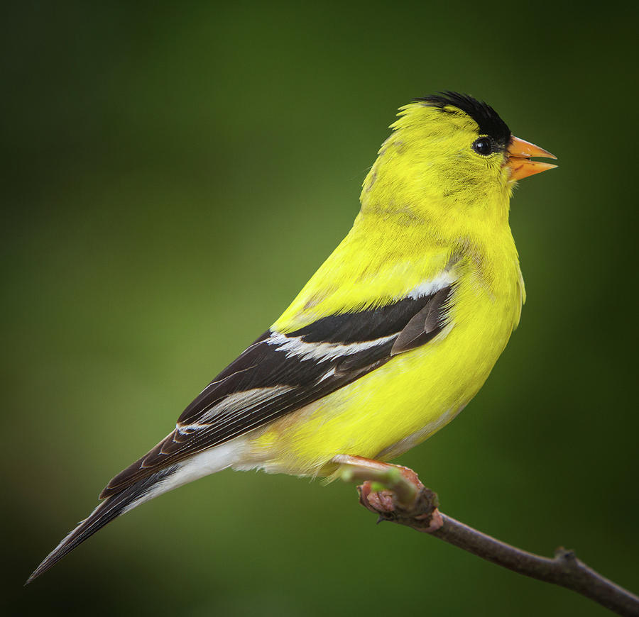 American Photograph - Male American Golden Finch On Twig by William Freebilly photography