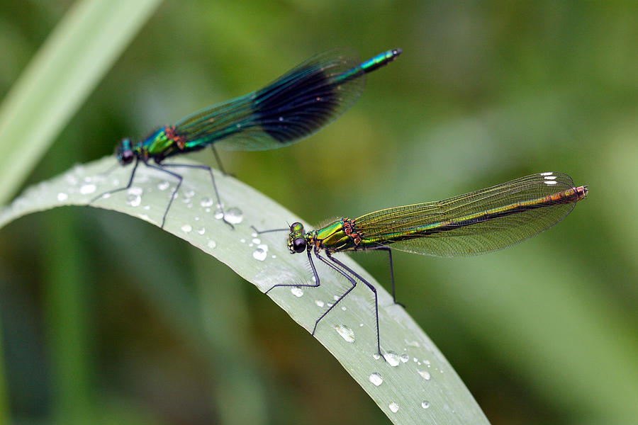 Damsel Fly Photograph - Male And Female Damsel Fly by Pierre Leclerc Photography