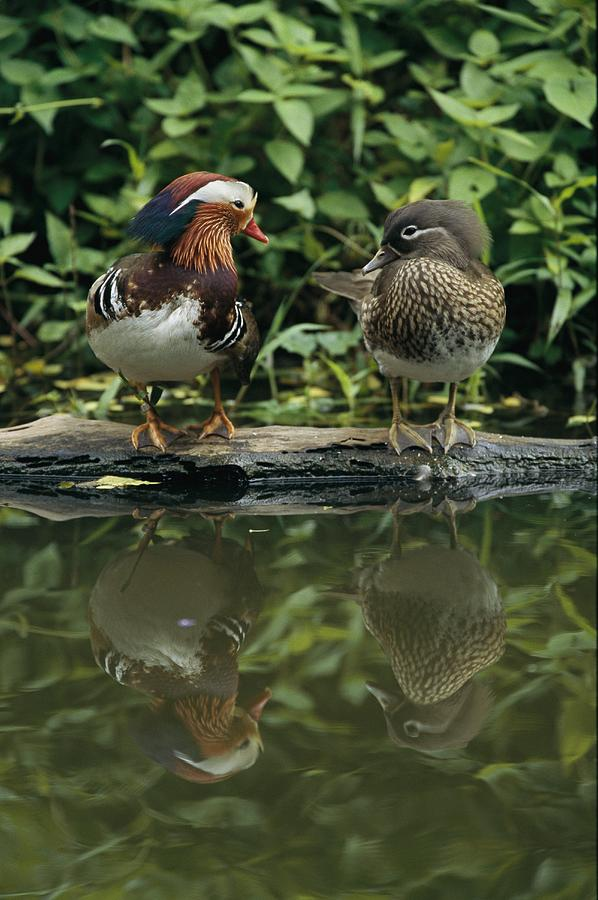 Male And Female Mandarin Ducks On A Log Photograph By Tim Laman
