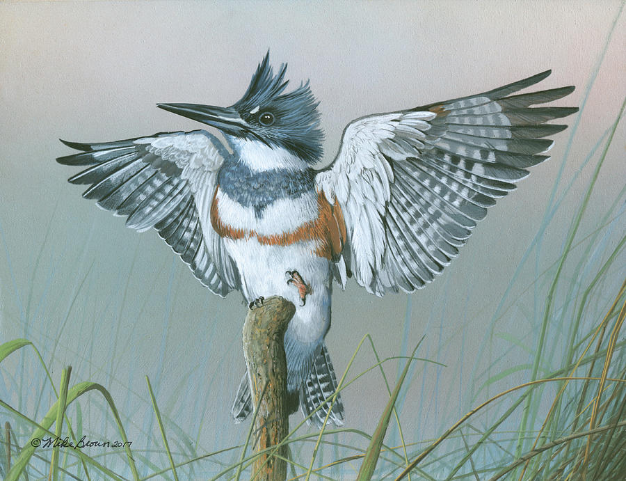 Male Belted Kingfisher by Mike Brown
