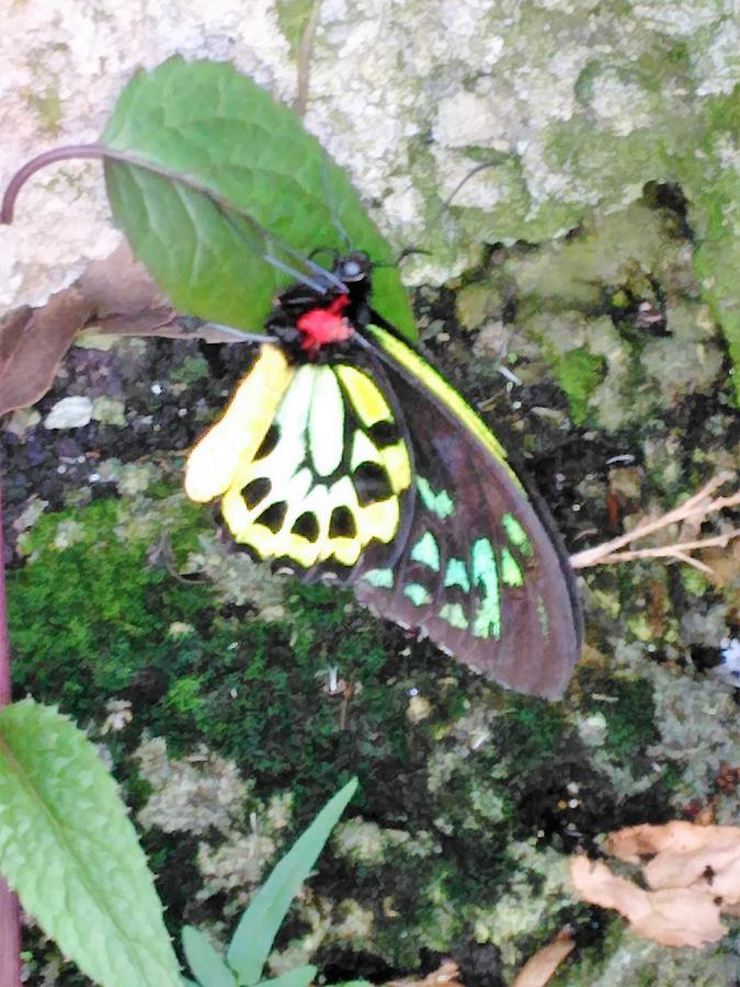 Birdwing Photograph - Male Birdwing Butterfly by Andrew Blitman