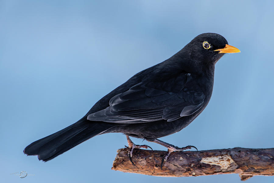 Male Blackbird Perching On A Pine Branch In Profile Photograph