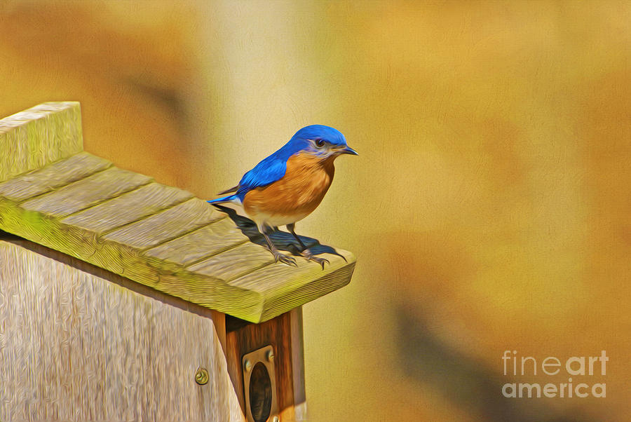 Blue Bird Photograph - Male Blue Bird Guarding House by Laura D Young