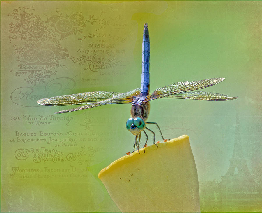 Dragonfly Photograph - Male Blue Dasher Dragonfly by TN Fairey