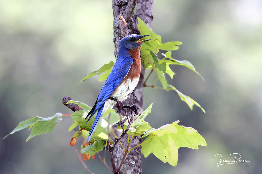 Bluebird Photograph - Male Bluebird by Jackson Pearson