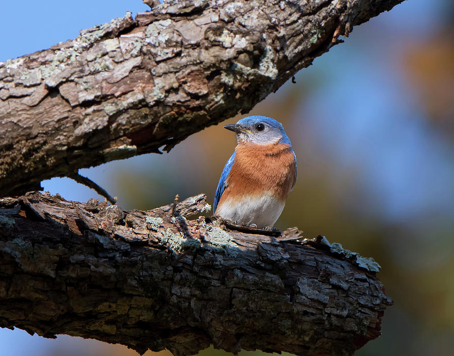 Male Bluebird by Mike Fitzgerald