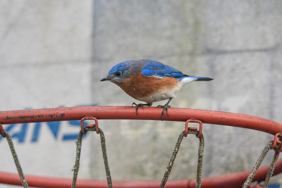 Backyard Birds Photograph - Male Bluebird On Old Basketball Goal 011020164624 by WildBird Photographs