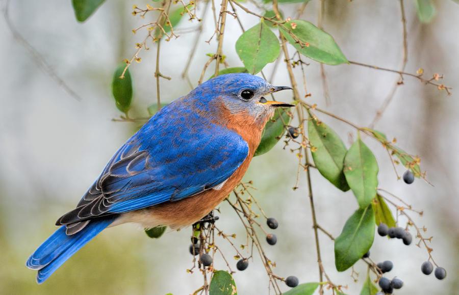 Backyard Birds Photograph - Male Bluebird Swallowing Berry 011020164717 by WildBird Photographs