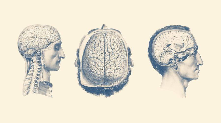 Male Brain Anatomy - Circulatory Focus Drawing by Vintage Anatomy Prints