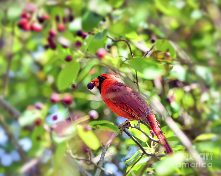 Cardinal Photograph - Male Cardinal And His Berry by Kerri Farley
