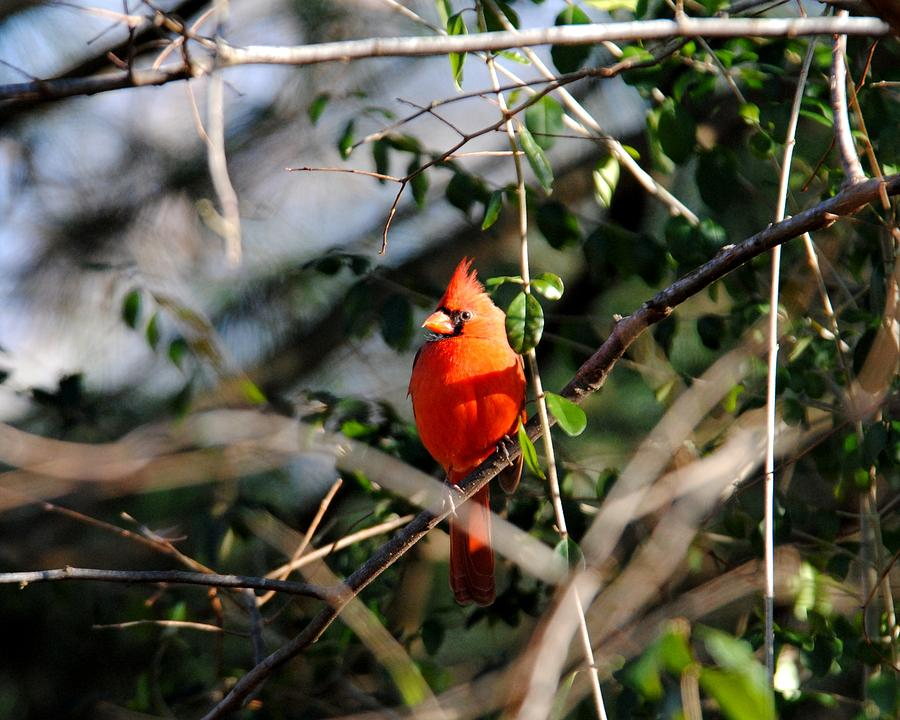 Cardinal Photograph - Male Cardinal II by Jai Johnson