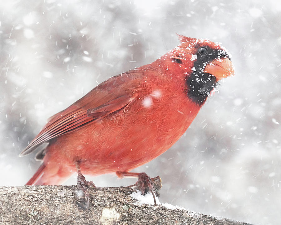Cardinal in a Snowstorm by Jim Hughes
