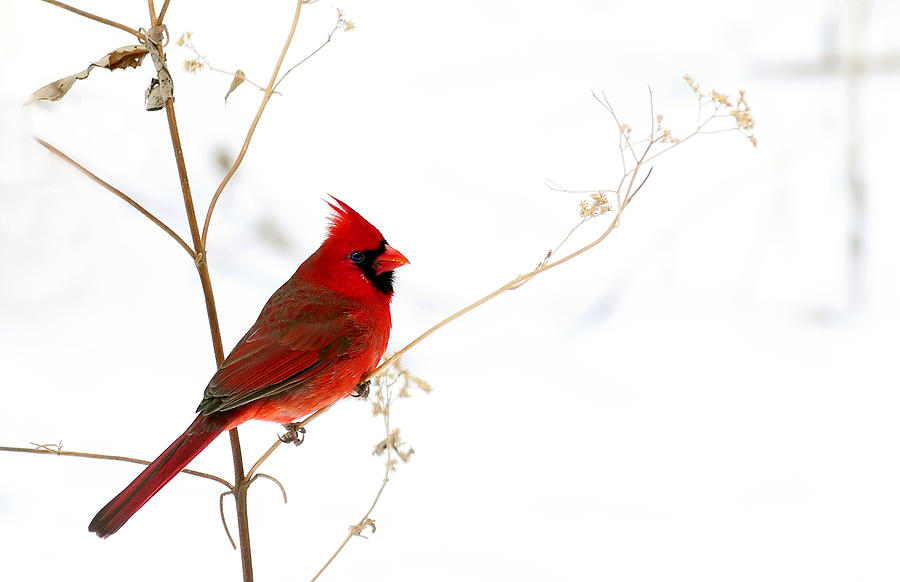 male cardinal posing in the snow photograph by randall branham