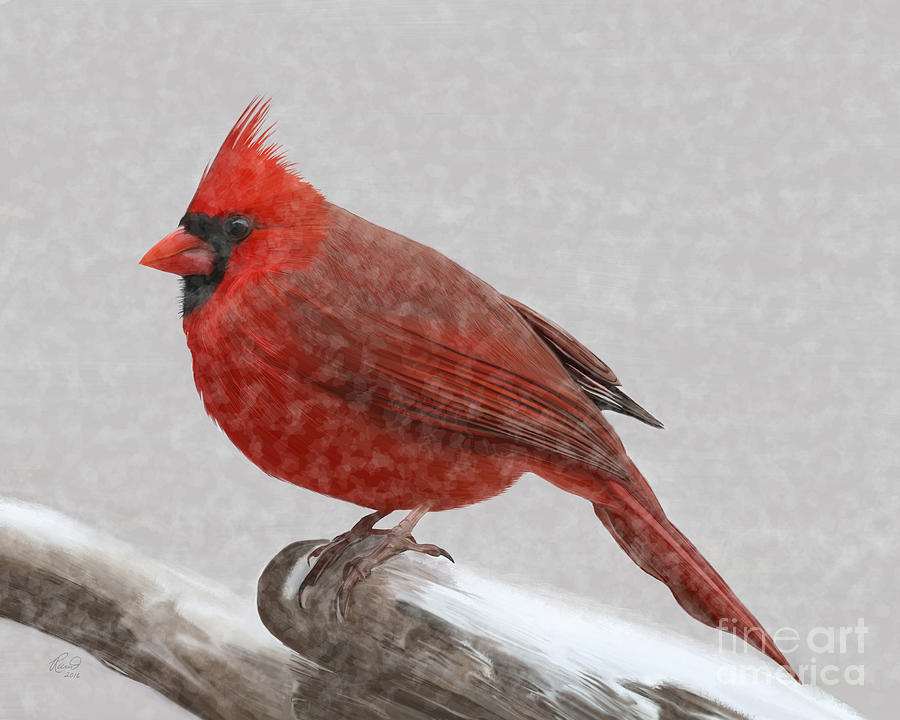 Male Cardinal in snow by Rand Herron