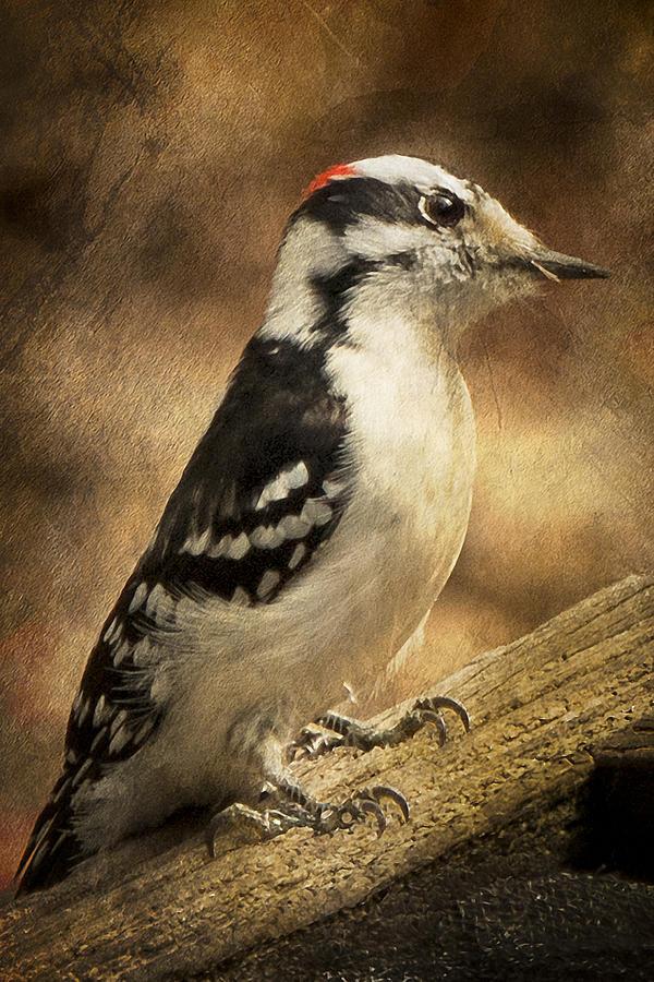 America Photograph - Male Downey Woodpecker by Lauren Brice
