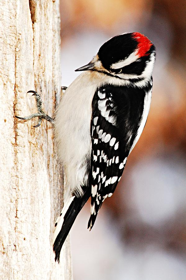 Nature Photograph - Male Downy Woodpecker 3 by Larry Ricker