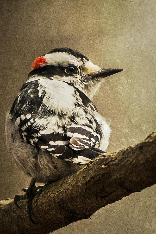 America Photograph - Male Downy Woodpecker by Lauren Brice