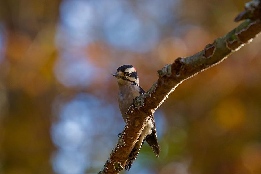 Downy Woodpecker Photograph - Male Downy Woodpecker by Robert L Jackson