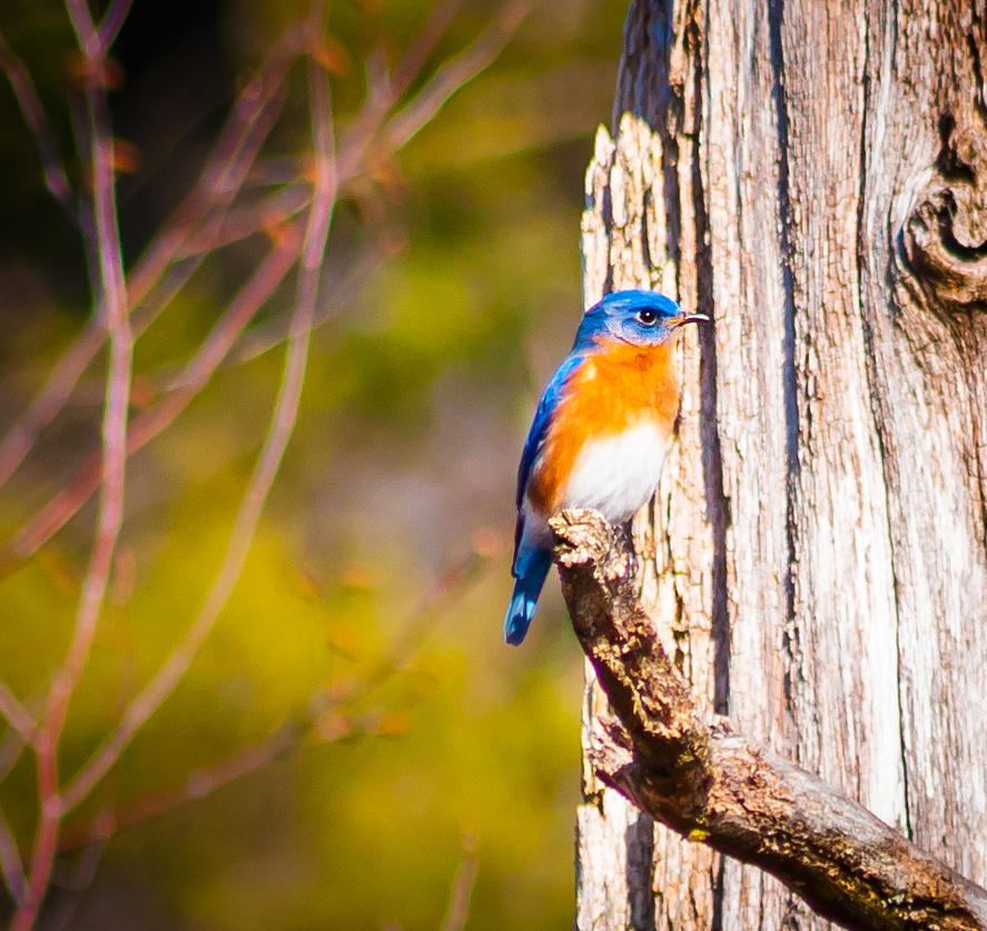Male Eastern Bluebird  Photograph by Heather Hubbard