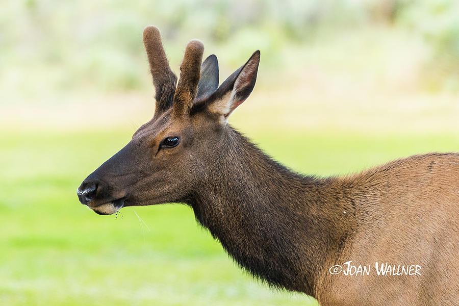Elk Photograph - Male Elk by Joan Wallner