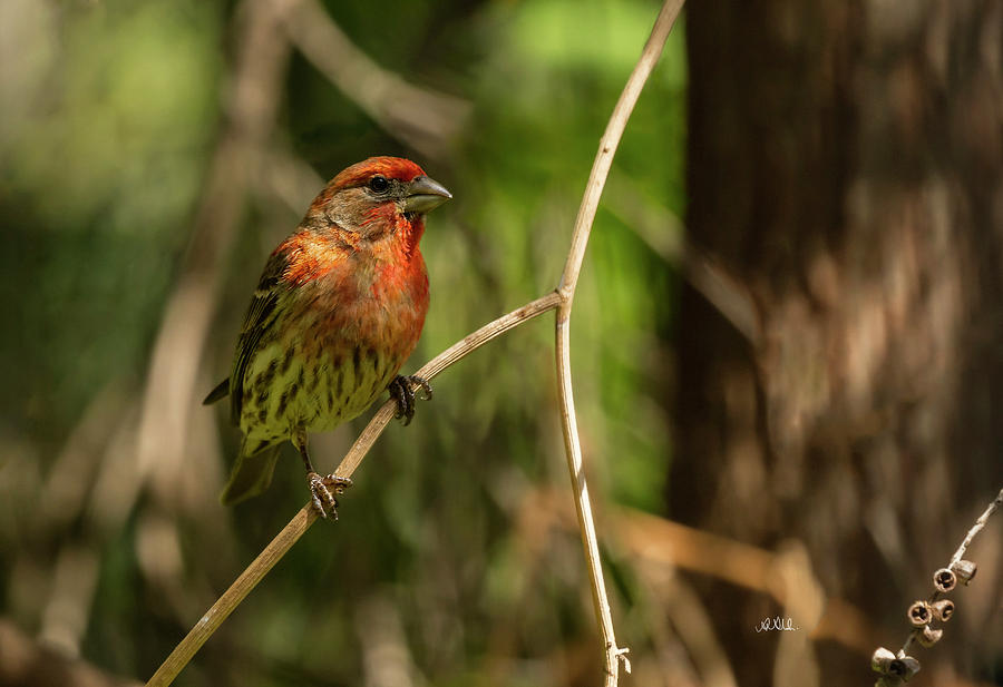 Male Finch In Red Plumage Photograph