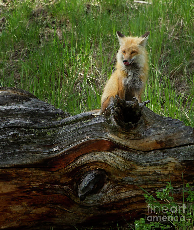 Fox Photograph - Male Fox-signed   #3569 by J L Woody Wooden