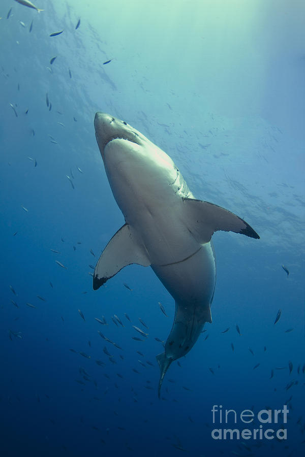 Great White Shark Photograph - Male Great White Sharks Belly by Todd Winner