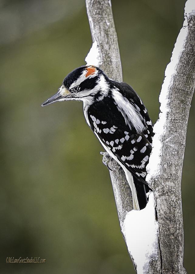 Woodpecker Photograph - Male Hairy Woodpecker by LeeAnn McLaneGoetz McLaneGoetzStudioLLCcom