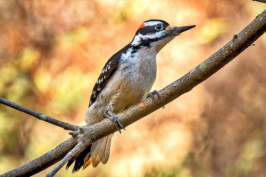 Hairy Woodpecker Photograph - Male Hairy Woodpecker by Robert L Jackson