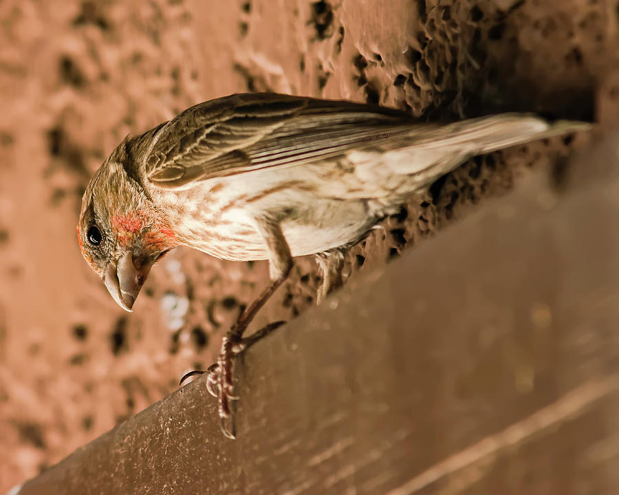 Male House Finch H18 Photograph