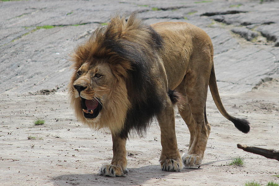 Male Lion - Angry or Just Bored?? by Jake Danishevsky